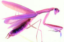 Mantis in Pink