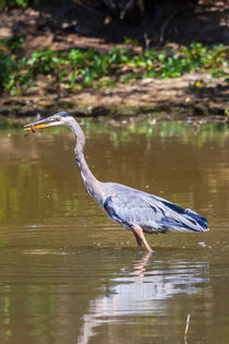 Great blue Heron eating a crayfish by Craig Lapsley