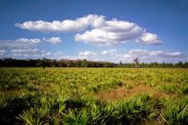 Palmetto Field. Three Lakes Wildlife Management Area, Osceola county FL by chris kusik
