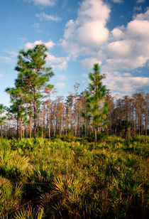 Pine And Clouds. Triple N Ranch, Osceola County FL. by chris kusik
