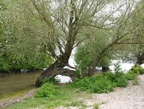 Weiden am Rheinufer von Elke Baschkar