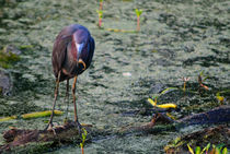 Blue-heron-at-breakfast-org