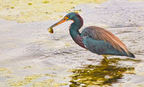 Blue-heron-catch-org