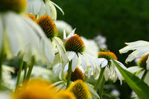 Weisse Echinacea by Jens Uhlenbusch