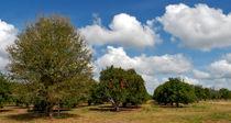Orange Grove. Babb Farm Kissimmee Florida. von chris kusik