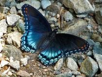Purple Admiral Butterfly von chris kusik