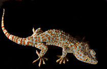 Isis. Tokay Gecko. by chris kusik