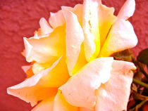 Yellow Orange Rose by Christine Chase Cooper
