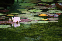 water lily by meleah