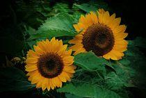 Sonnenblumen  by Elke Balzen