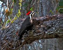 Pileated Woodpecker On Oak.  Osceola County, Florida. von chris kusik