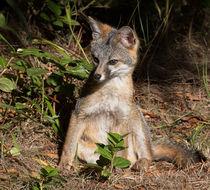 Gray Fox Kit by Kathleen Bishop