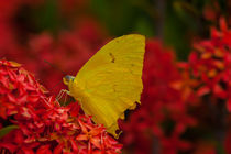 yellow butterfly von Craig Lapsley