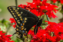 'Baird's' Old World Swallowtail Butterfly by Barbara Magnuson & Larry Kimball
