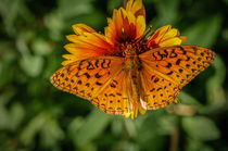 Aphrodite Fritillary Butterfly by Barbara Magnuson & Larry Kimball