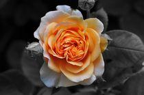 Rose von Sabine Hofmann
