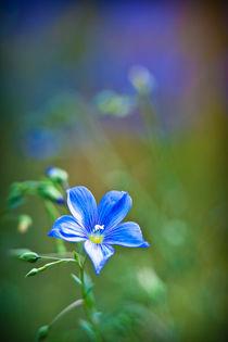 Blaue-blume