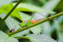 tiny cricket meets small grasshopper by Craig Lapsley