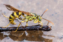 wasp in the rain von Craig Lapsley
