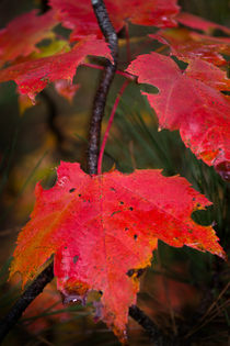 Red Maple Leaves by Bryan Heaps
