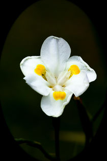 Pretty white and yellow orchid by Craig Lapsley