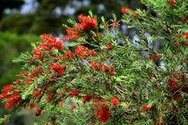 fedriger busch by Lore Müller