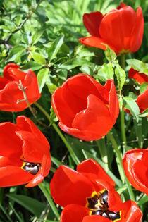 Tulpenbeet I  by frankonia