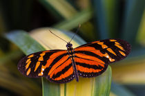 black and orange butterfly von Craig Lapsley