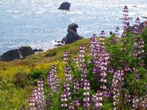 Lupines-at-shell-beach