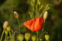 Blumen im Kornfeld -11- von Christine  Hofmann