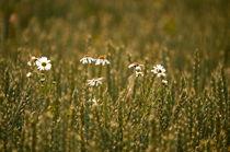Blumen im Kornfeld -10- von Christine  Hofmann