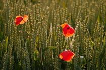 Blumen im Kornfeld -5- von Christine  Hofmann