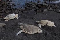 Three Turtles by morten larsen