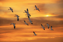 Snow-geese-of-autumn