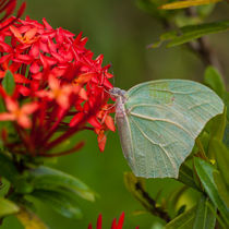 Pale green butterfly on bright red flower von Craig Lapsley