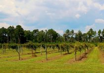 Vineyards by eloiseart