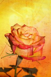 Rose-orange-mediterran1