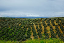 Olive groves by Laura Benavides Lara