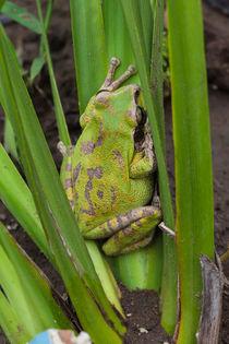 1441-c-green-frog