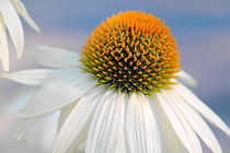 Echinacea im weißen Kleid von pichris