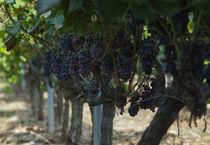 vineyard & wine by emanuele molinari