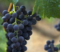grapes by emanuele molinari