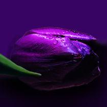 Tulpe-lila-3-endgueltig