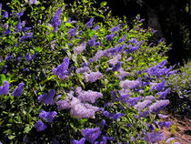 Wild Ceanothus by Kathleen Bishop