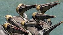 Pelicanos-mygall