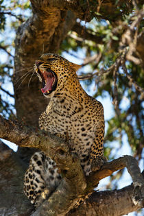 Hissing leopard on the tree in the Masai Mara by Maggy Meyer
