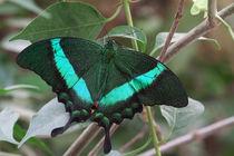 Papilio palinurus by foto-m-design