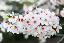 Cherry blossom  by holka