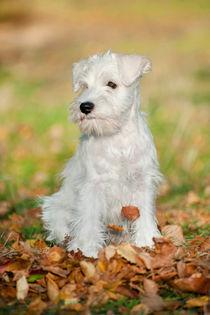 White Miniature Schnauzer puppy von holka