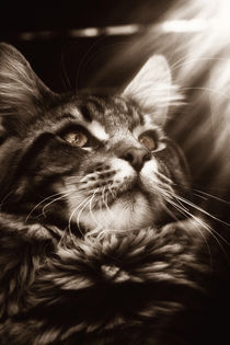 Maine-coon-kater-1